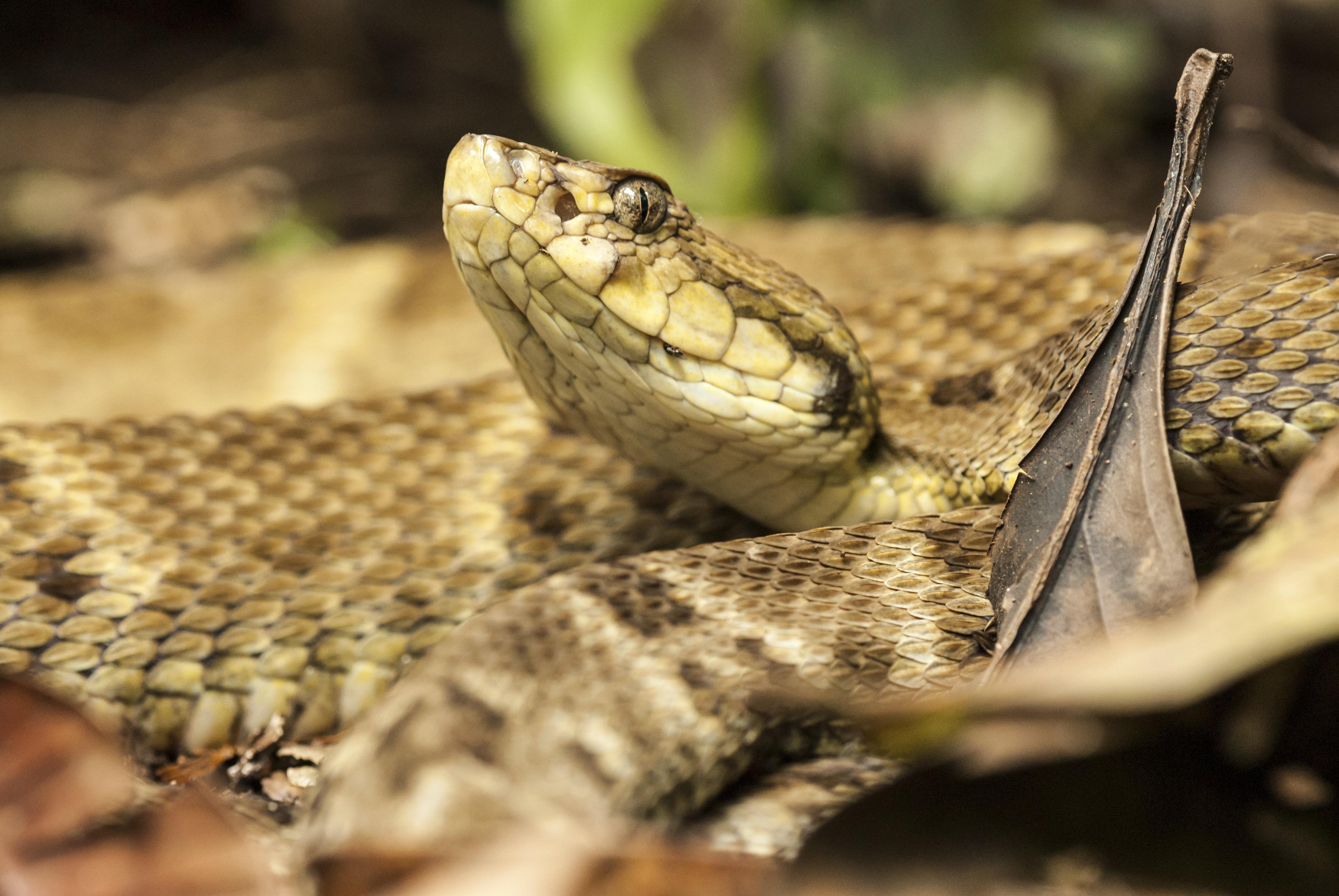 Snake for Snake venom enzymes